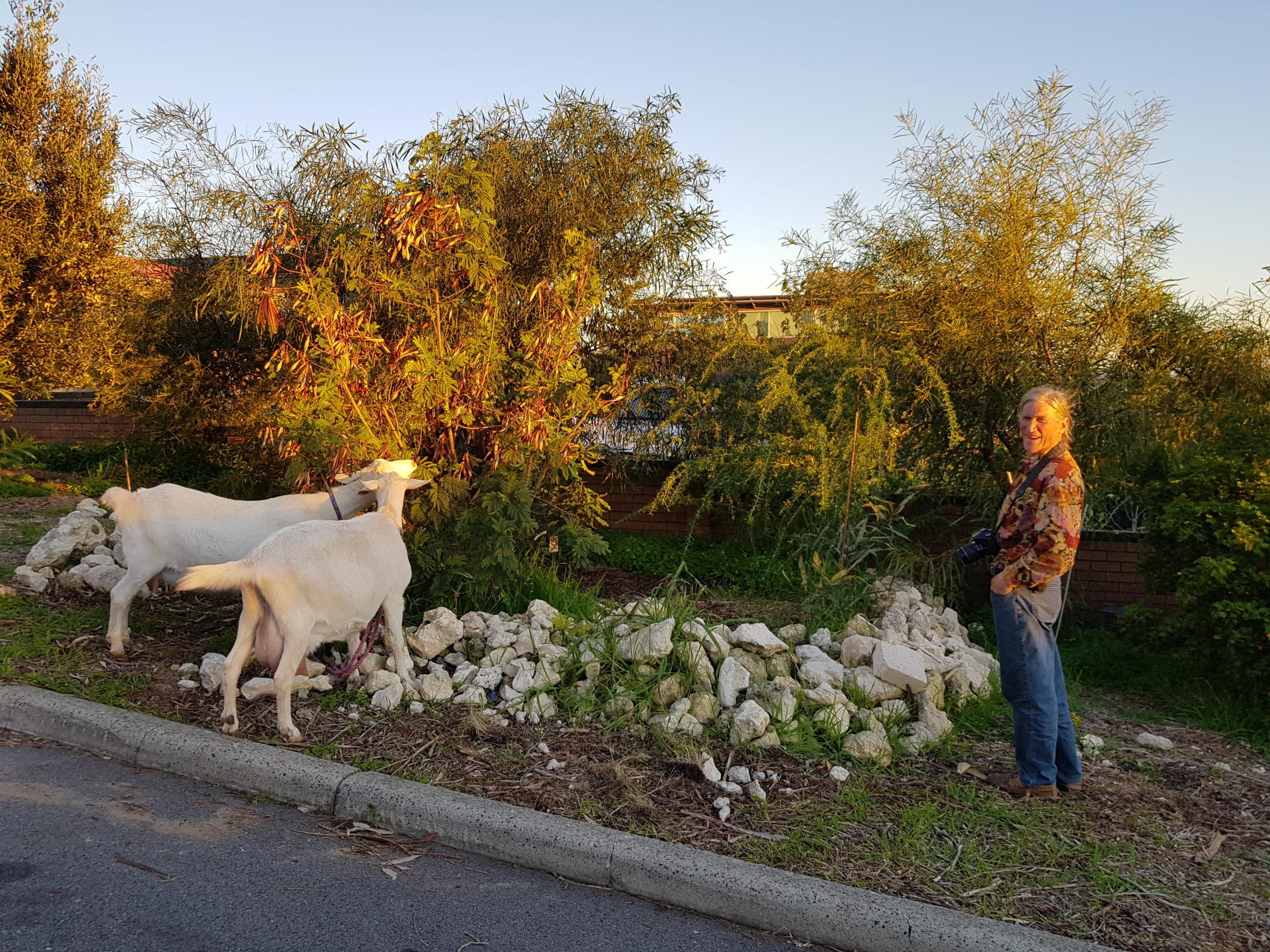 1 david su goats (3)